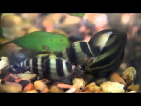 Nerite snails with assassin snails?