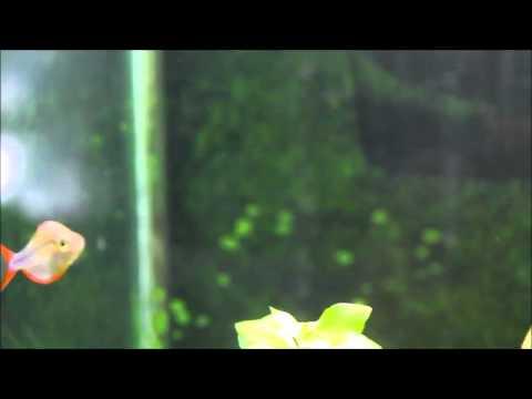 Rainbowfish breeding behavior (and some new stuff)