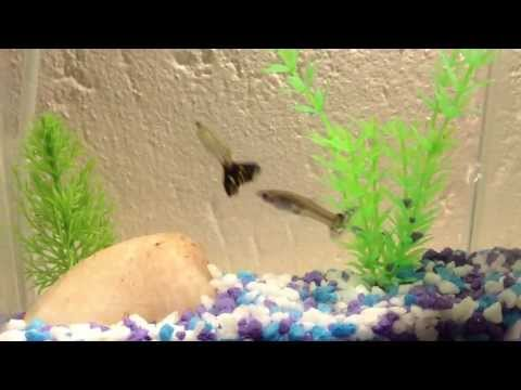 A Beginners Guppy Fish Tank