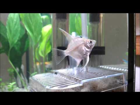 Introducing Angelfish into the Aquarium