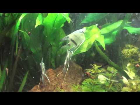 Electric Blue Angelfish Spawning