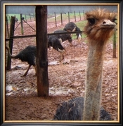 Rusty O's Bad Hair Day On The Ostrich Farm (Buyer Framed)