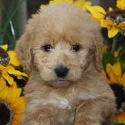 Ruby Goldendoodle