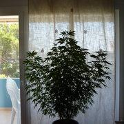 Marihuana terapeutica .