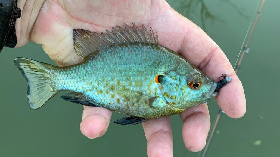 Male Redear Sunfish