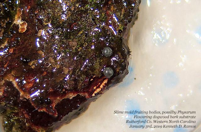 0021 Slime mold fruit bodies