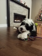 Riley by the fireplace enjoying a Christmas gift