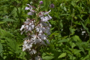 Small Purple Fringed Orchid, White Form, BRP