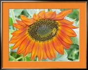 Orange Sunflower Bee - Pollinator Extraordinaire (Buyer Framed)