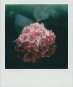 Ortensia Polaroid SX70