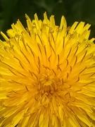 dandelion magic~