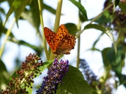 Butterfly at La Ville au Roi