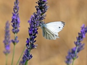 Butterfly on Lavender at Eleusis
