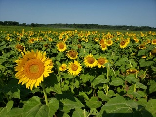 Visiting a sunflower field