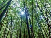 Deep in the Bamboo Grove