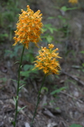 "Yellow Fringed Orchid, Hwy. 129, ""Tail of the Dragon"""