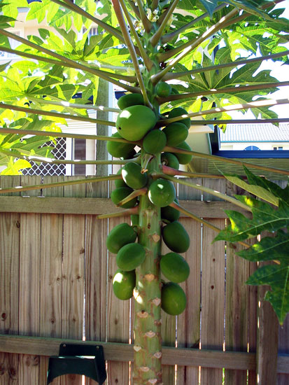 Our first producing Paw Paw tree