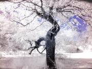 walnut tree at Eluisis