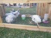 Free roosters!