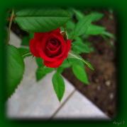 {To τριαντάφυλλο}
