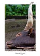 Big Horn Cow_01