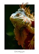 Iguana_4289