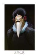 沙巴關懷鄉土攝影家劉富威·婆羅洲犀鳥