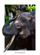 Elephant_4289