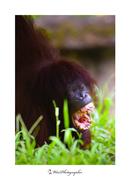Orangutan Big Mouth