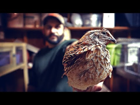 Basic Quail Care and How to tell Male from Female.