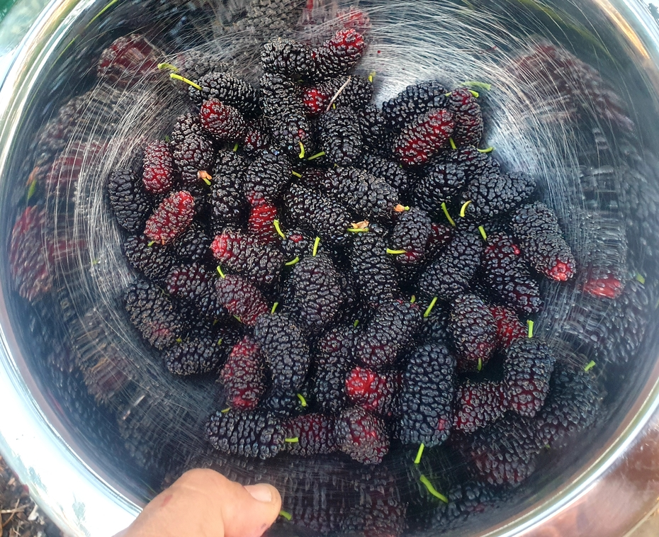Fat black mulberries.