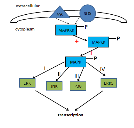 A Detailed Introduction of MAP Kinase Signaling Pathway