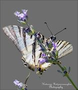 Η σύντομη ζωή της πεταλούδας