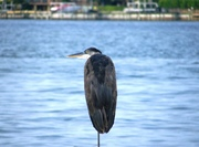 Tall, Handsome, Gulf Sea Bird