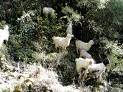 goats in annapurna region