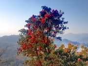 Rhododendron in Annapurna