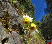 flora in annapurna