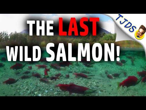 The LAST Wild SALMON!  Copper Mines or Ecosystems?
