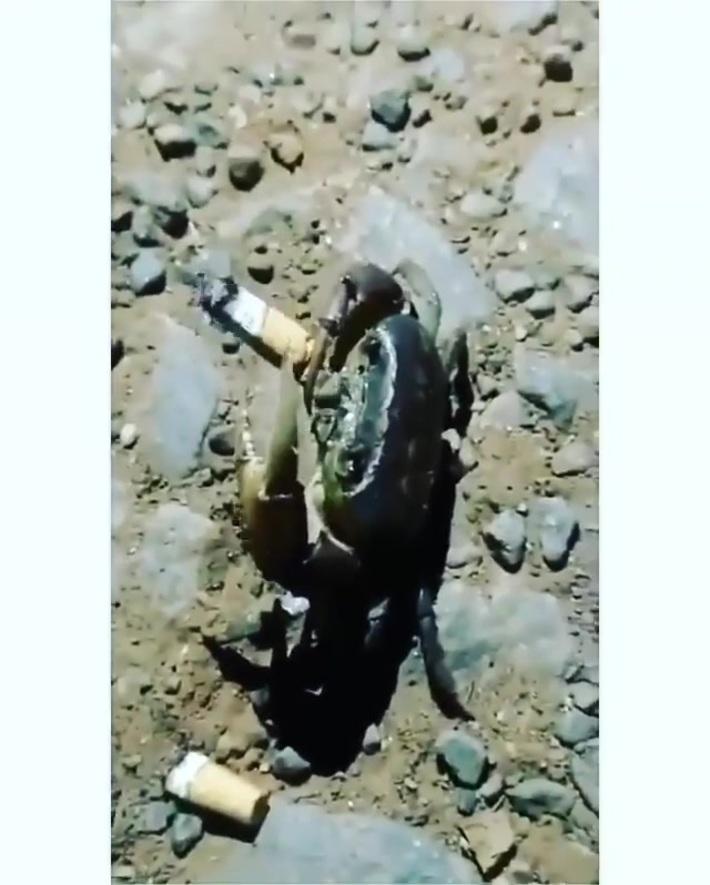 Crab smokes a cigarette