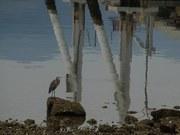 Heron in Ferryland