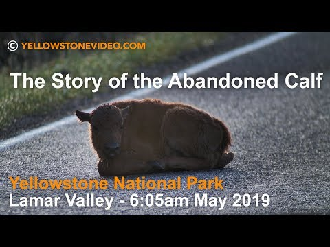 The Story of the Abandoned Bison Calf - May 2019 - Yellowstone National Park