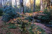 Copper Beech along Bunches Creek