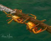 Kelp crabs