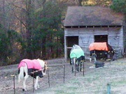 Horse Blankets To the Barn - Unframed Photo Print