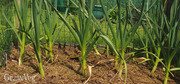 Gather to Plant Garlic: It's Time!