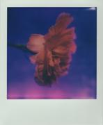 Chromaroid (viola)
