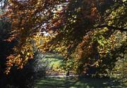 Beech leaves, Nov 4th '20