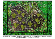 Using Vetiver and green mulches in the vegetable garden