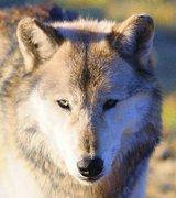 wolf-4168526__340