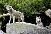 wolves-1336217__340